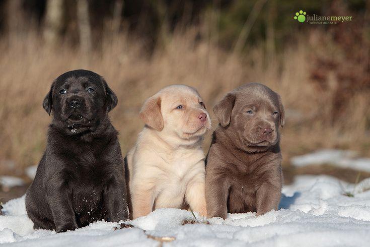 Labrador Welpen in fotocommunity
