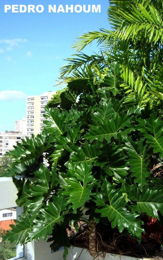 Philodendron undulatum, Alto Leblon - Rio BOTANICA POP 2009