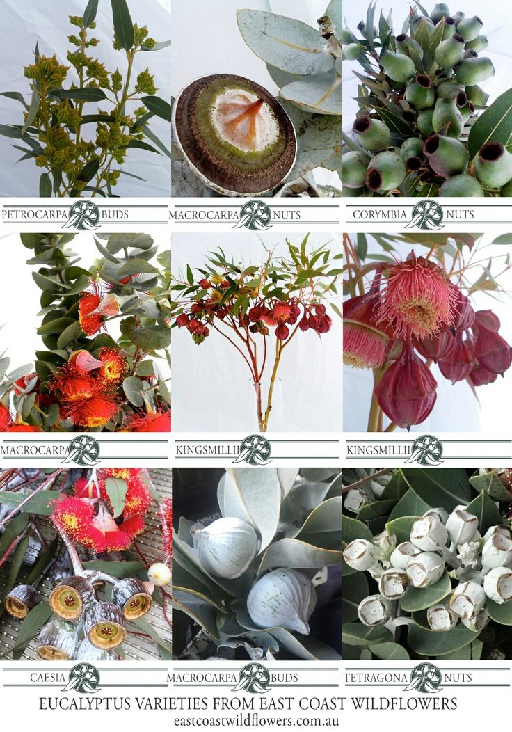 Some of the most popular #eucalyptus varieties that we grow and wholesale in NSW #native #bluegum #silverdollar #gumnuts #Australian #bouquet #flowers #bushflowers