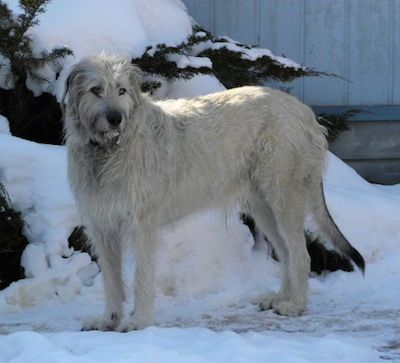 Perro+lobo+irlandés+o+Irish+Wolfhound