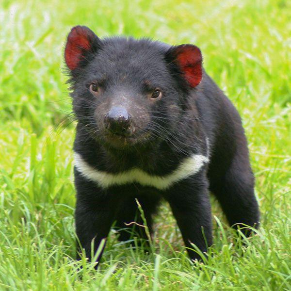 lone tasmanian devil