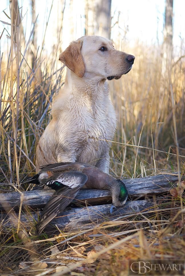 Yellow labrador duck hunting with a drake wigeon prize.  http://cbstewart.myshopify.com
