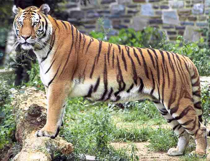 "The Bengal Tiger is the national animal of India.India is the home for the world's largest population of tigers.In the Big Cats dairy of India there are only 1411 Royal Bengal Tigers left as per record.Conservation efforts called ""Project Tiger"" is on his way to Save Bengal Tigers. Bandhavgarh national park has been an excellent habitat of tiger and is known for the highest density of tigers in the world."