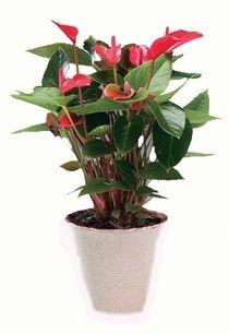 https://www.florisis.ro/en/indoor-plants/69-flamingo-flower-anthurium.html