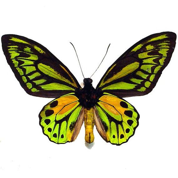 www.833v.com_Real Framed Golden Birdwing Ornithoptera Croesus Verso Butterfly 833v | Beautiful ...