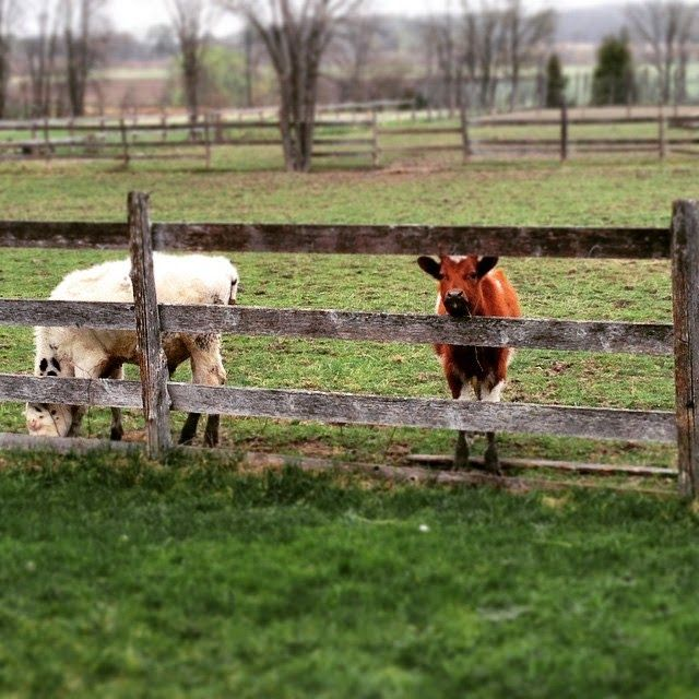 Nos nouveaux voisins, les veaux!   Mamanbooh!