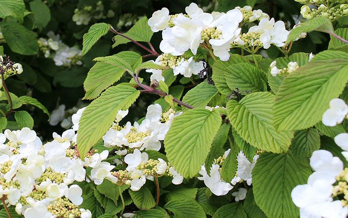 Climbing hydrangea - the best climbing plants for shade