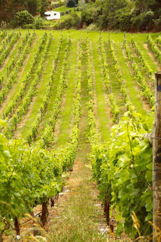 Vineyard in New Zealand #SauvignonBlanc #Wine www.roaringtwentieswineco.com