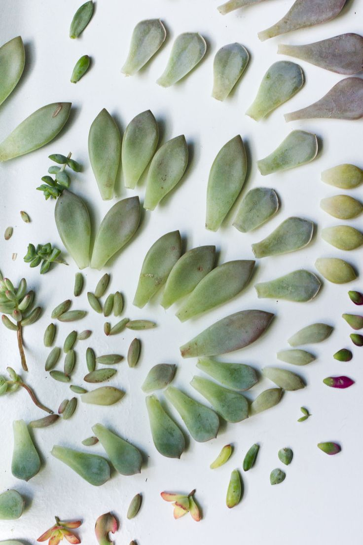 Propagating Succulents from Leaves - currently obsessed with succulents and I have a decent variety...now to create a whole new generation of them...