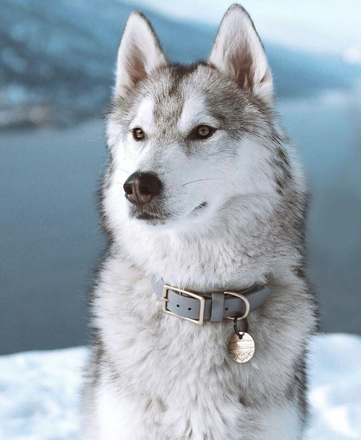 Husky Huskies Instagram Aesthetic Best Dogs Cutest Cute Love Husky Puppies Earth Love Snow Man Snow Puppy Snowy Boy Pos Husky Dogs Siberian Husky Dog Panda Dog