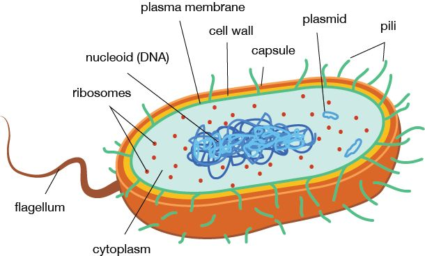 Prokaryotic Cell Structure and Function - Simpler cell, with no nucleus.  Cells found in one celled organisms belonging to Domain Bacteria and Domain Archaea.