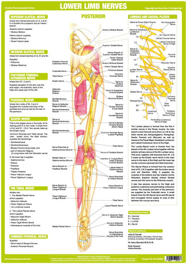 He Chartex Lower Limb Nervous System Chart Illustrates Explains And