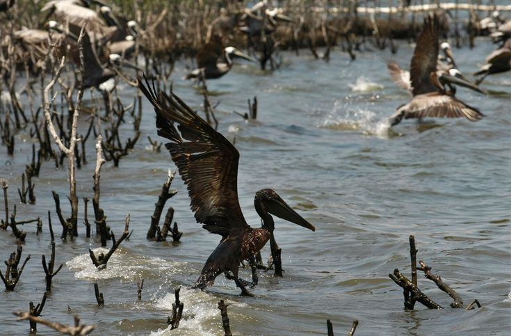 Daño ambiental provocado por este Derrame de petróleo luego de las fugas en el pozo de British Petroleum, el Deepwater Horizon.
