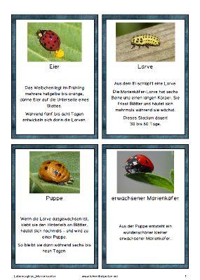 Bloghop Frühling: Lebenszyklus Marienkaefer Karteikarten und Spiel