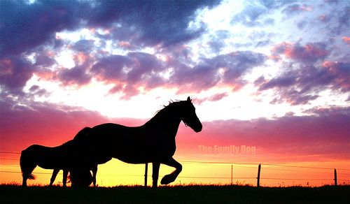 friese paarden op ameland