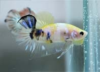 1000 images about bettas on pinterest copper fresh for Betta fish mirror