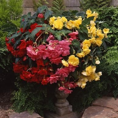 Begonia Bulbs - Hanging Basket Mix