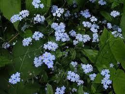 Pomněnka, Pomněnka bahení, Pomněnka bahenní dorůstá výšky 50-80 cm. Listy mají eliptický tvar a mohou být chlupaté, květy se vyskytují v mnohočetných vijanech bez listenů. Koruna je kolovitá a má světle modrou barvu. Kvete od května do září.