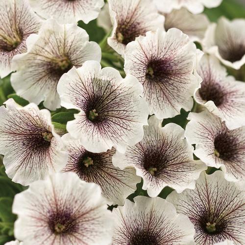 Proven Winners | Supertunia® White Russian - Petunia hybrid Deadheading Not Necessary !