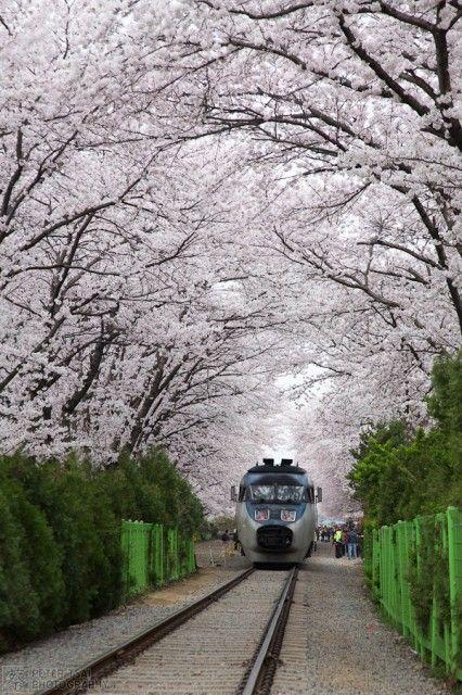 Korail Train to Jinhae underneath a canopy of cherry blossoms, Korea