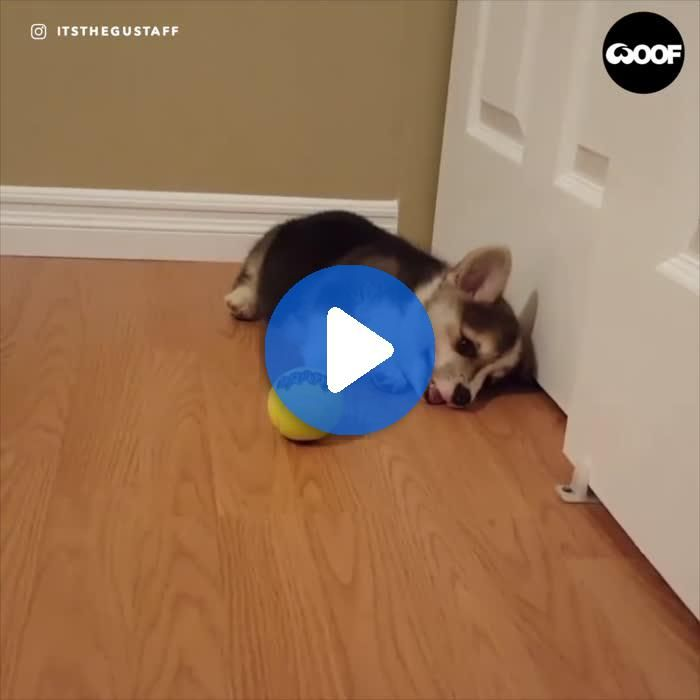 Adorable Corgi Puppy Encounters Tennis Ball For The First Time