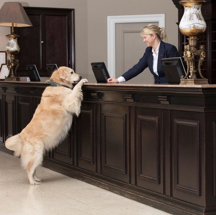 Stanley (the Balmoral Golden Retriever) is assisting the reception team!  Follow: @luxuryhotelpix -  |  @thebalmoral -  Tag #luxuryhotelpix to be featured - #beautifulhotels  #wishiwasthere