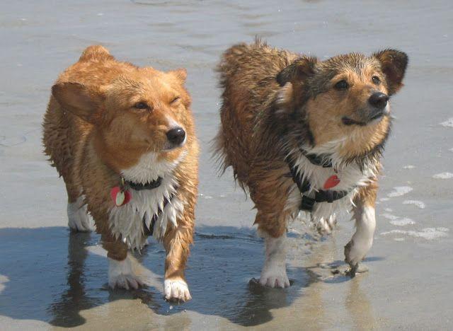 The Daily Corgi: WET DOG WEDNESDAY!