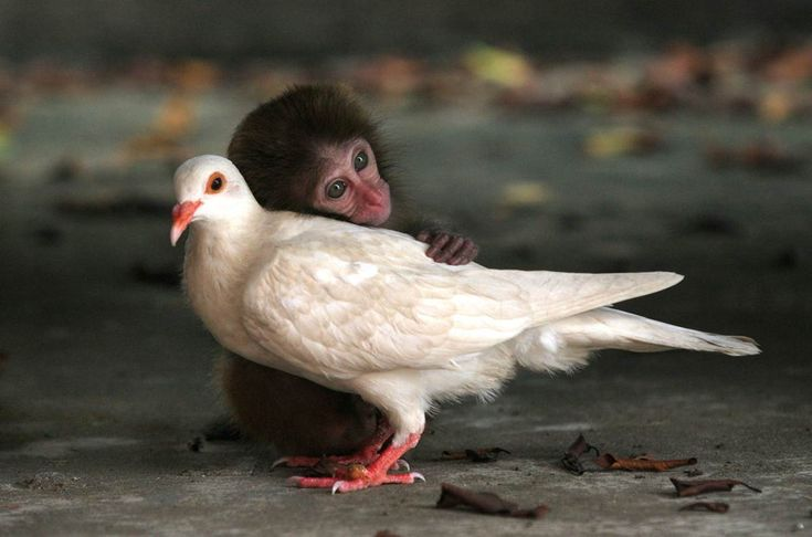 An orphaned Rhesus Monkey and a White Dove that seemed to have lost its mate, forged a special bond at the Neilingding Island-Futian National Nature Reserve in China. Love is love :)