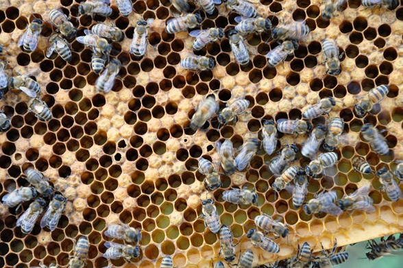 Do you keep bees? 3 reasons to inspect your hive --> http://blog.hgtvgardens.com/bee-season-inspecting-your-comb/?soc=pinterest