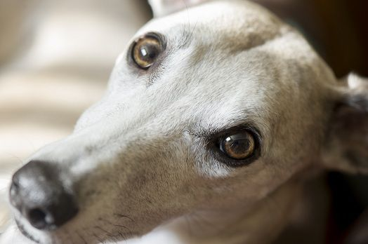 16 Reasons Whippets Are Not The Friendly Dogs Everyone ...