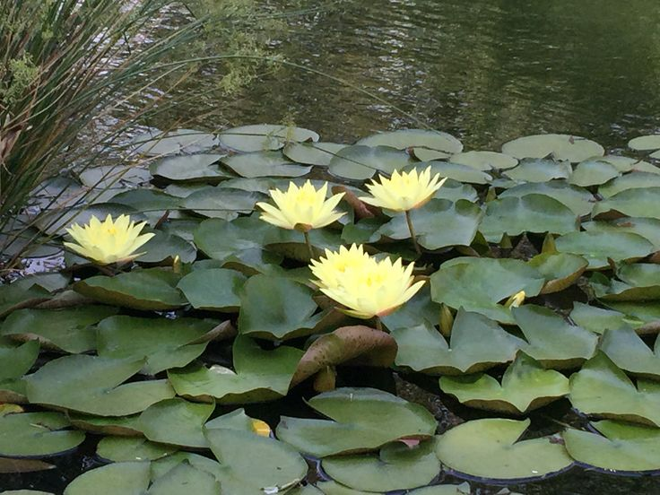 14 best pond aquatic plants images on pinterest aquatic for Plants for pond filtration