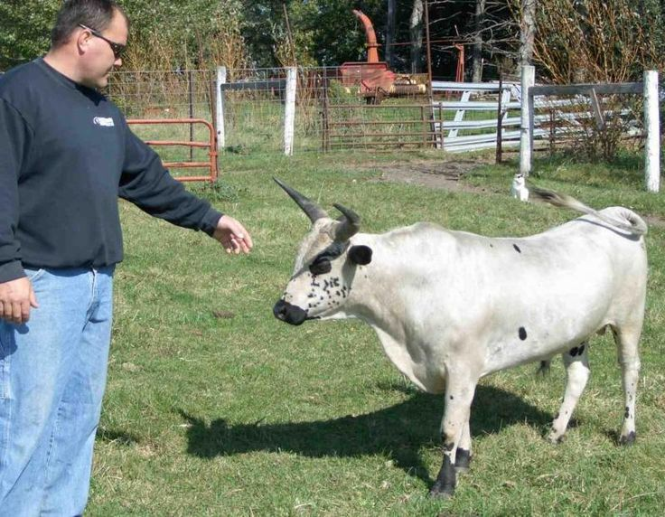 My hubby did not say NO! I have wanted to own a cow since childhood. Pillard's Miniature Cattle