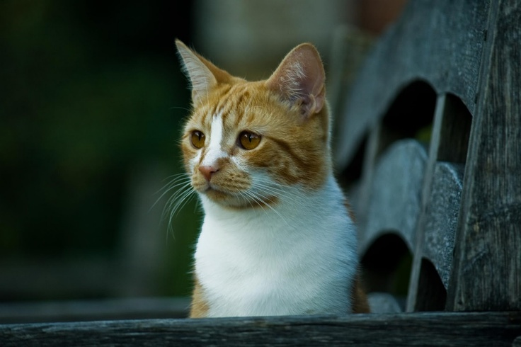 Mr. Churchill's cat.  Later in life, Churchill was given a ginger cat with four white paws and a white bib. He named him Jock, after his personal secretary Jock Colville. This is the 5th Jock that is currently residing at Chartwells, Churchill's home that is now owned by the National Trust.