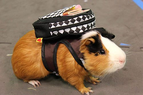 13 Guinea Pigs Show You Why They're the New IT Pet