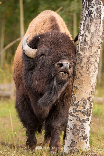Bison Scratching an Itch, Grand Teton National Park, Wyoming; photo by Mike Cavaroc