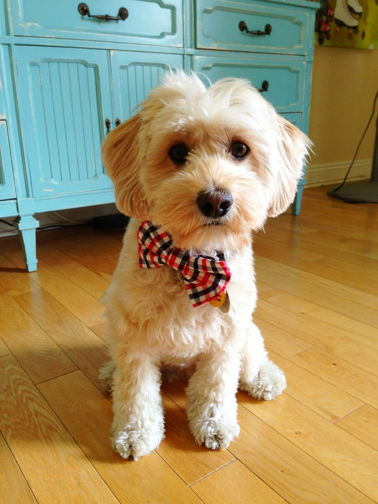 Amazing Puppies Bow Adorable Dog - cbf4abb7dc2d0a471efe921cd5e045ab--doodle-dog-bowties  Photograph_935142  .jpg