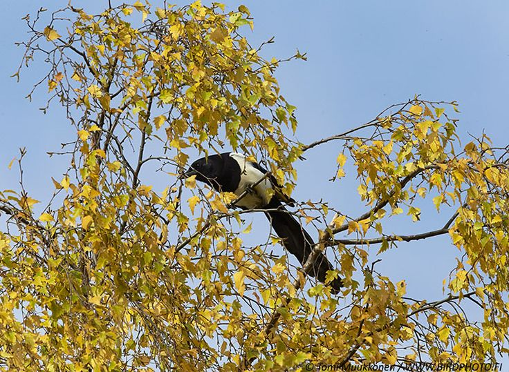 HARAKKA Pica pica, Mustavalkoinen, pitkäpyrstöinen varislintu, lienee yksi tunnetuimmista lintulajeistamme.
