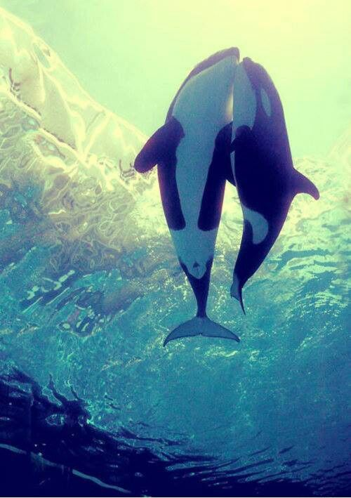 Orcas have got to be one of the most beautiful animals