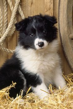 borde  collie puppy  by john daniels -