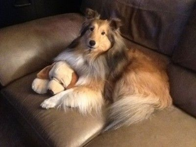 442 Best Images About I Shelties On Pinterest Dog Art