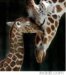 Giraffe Symbolism & Giraffe Meaning The Giraffe Spirit Animal represents elegance, keen intention, foresight, pillars of excellence, calculate danger,   shoot for the moon and reach for the stars