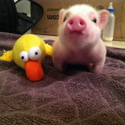 I am a follower of his cuteness.   CHRIS P. BACON!