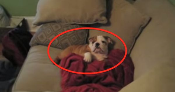 In Just 8 Seconds, This Bulldog Will Do Something That'll Blow Your Mind. Are You Ready?