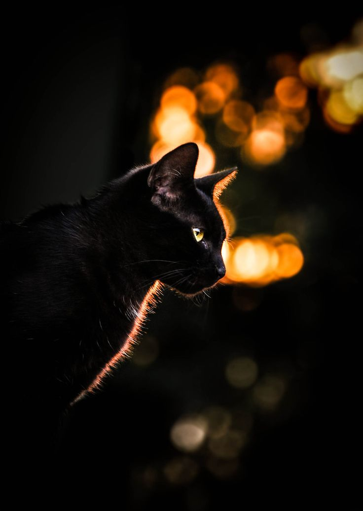 черные кошки в ночи картинки квартира гатчине