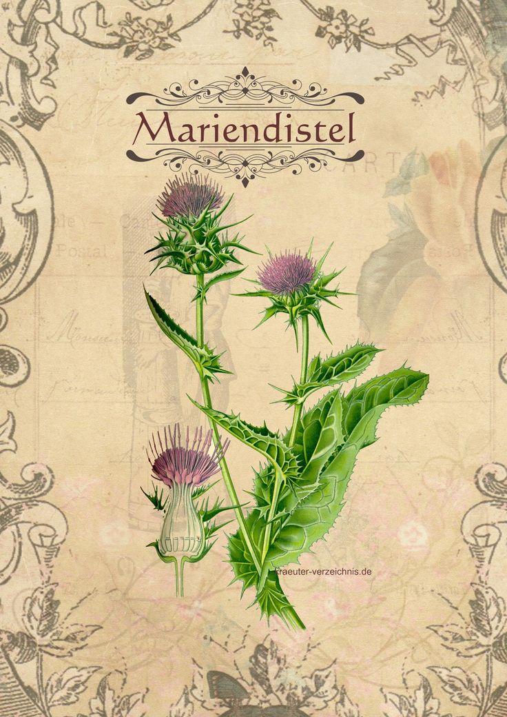 Die 25+ Besten Ideen Zu Mariendistel Leber Auf Pinterest ... Wie Man Einen Gesunden Gemuse Garten Plant Und Aufrechterhalt