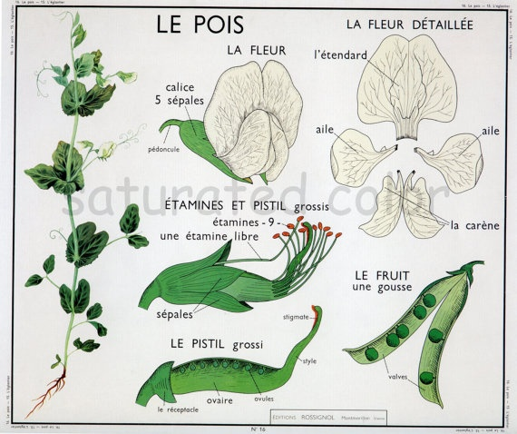 Vintage Les Pois The Pea Botanical Chart Print by SaturatedColor, $11.99