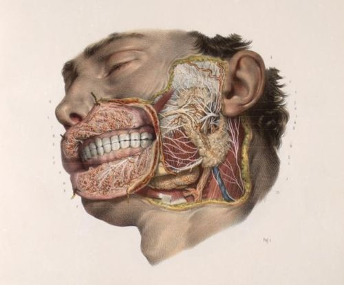 Nicolas Henri Jacob - Illustration for Traité complet de l'anatomie de l'homme comprenant la médecine opératoire (1831-1854) by Jean-Baptiste Marc Bourgery Illustration of dissection of the lips and face, showing salivary  glands, branches of the facial nerve (cranial nerve VII), trigeminal  nerve (cranial nerve V), and glossopharyngeal nerve (cranial nerve VII).  Teeth, with full permanent dentition shown, masticatory muscles and  jugular partly shown. Lateral view.