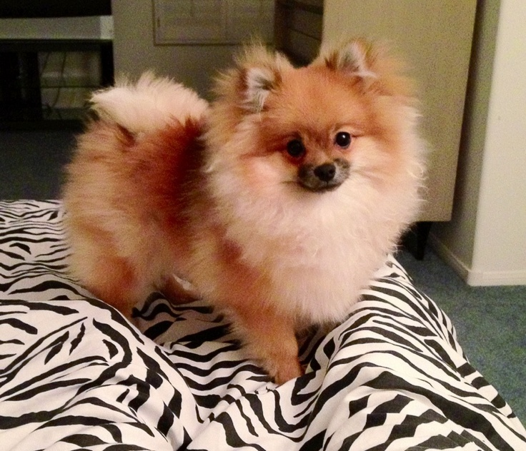 I will have a toy Pom again when I get my own house, miss my baby girl daughty Rae!
