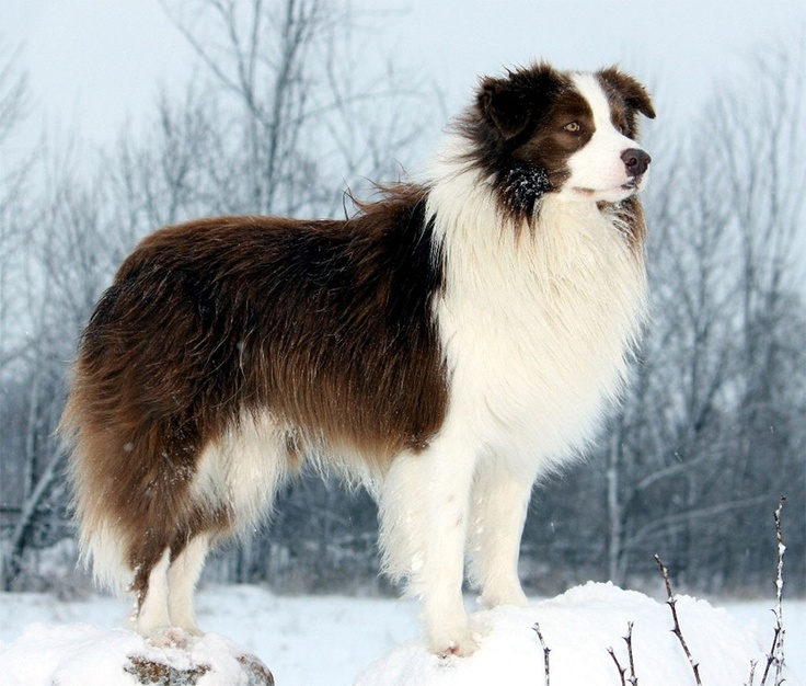 Border Collie in snow.