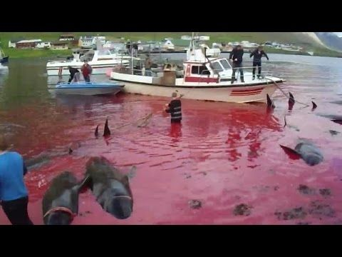 June 29, 2015. Graphic Video and Images of Pilot Whale Slaughter in the Faroe Islands. https://www.youtube.com/watch?v=V7NVmvjV88g&feature=youtu.be  #SeaShepherd #defendconserveprotect #opgrindini
